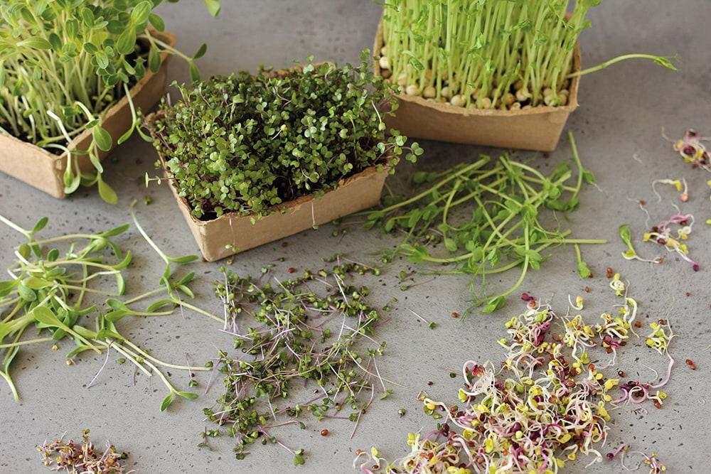 Sprossen und Microgreens! Sind sie wertvoll oder gefährlich?